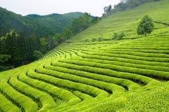 Zielonej herbaty plantaci wzgórza Południowy Korea i rzędy obrazy royalty free