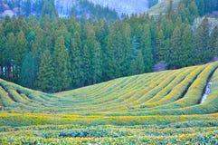 Zielonej herbaty plantacja w zimie obrazy royalty free