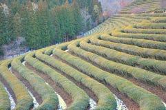 Zielonej herbaty plantacja w zimie fotografia stock