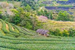 Zielonej herbaty platation gospodarstwa rolnego krajobrazu wzgórza kultywacja Obrazy Stock