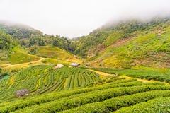 Zielonej herbaty platation gospodarstwa rolnego krajobrazu wzgórza kultywacja Fotografia Royalty Free
