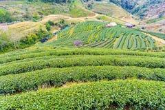 Zielonej herbaty platation gospodarstwa rolnego krajobrazu wzgórza kultywacja Obraz Stock