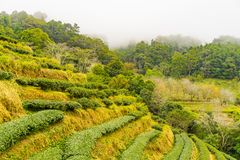 Zielonej herbaty platation gospodarstwa rolnego krajobrazu wzgórza kultywacja Zdjęcie Stock