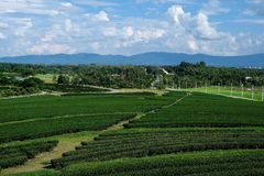 Zielonej herbaty pole na chmurnym dniu Obraz Stock