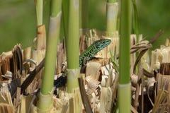 Zielonej jaszczurki bagna Fotografia Royalty Free