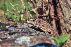 zielonej jaszczurki kamień Obraz Royalty Free