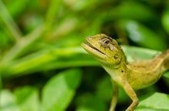 zielonej jaszczurki natura obrazy stock