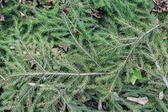 Zielonej Jedlinowej gałązki zbliżenia Szczegółowy tło Zdjęcia Stock