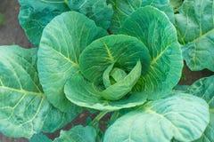 Zielonej kapusty dorośnięcie w ogródzie Zdjęcia Stock