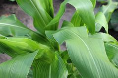 Zielonej kukurudzy liście w lato jardzie Fotografia Royalty Free