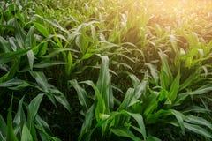 Zielonej kukurudzy ogród Obrazy Royalty Free