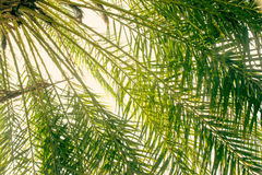 Zielonej liść daktylowej palmy natury tekstury abstrakcjonistyczny tło Fotografia Stock
