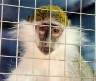 Zielonej małpy spojrzenia z przykrością przez klatki kratownicy zdjęcia royalty free