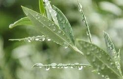 Zielonej oliwki liście Zdjęcie Stock