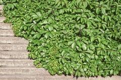 Zielonej pełzacz rośliny nakrywkowi schodki Zdjęcia Stock