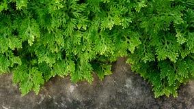 Zielonej pietruszki cryptogramma crispa tropikalnej rośliny paprociowy tło obraz royalty free