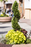 Zielonej rośliny żywopłot dla dekoraci Zdjęcia Royalty Free