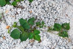 Zielonej rośliny dorośnięcie na betonu Zmielonym tle Obrazy Royalty Free