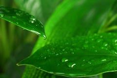 Zielonej rośliny liść Zdjęcia Royalty Free