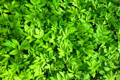 Zielonej rośliny liście Zdjęcia Stock