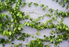 Zielonej rośliny wspinaczka przy ścianą fotografia royalty free