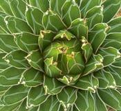 Zielonej rośliny agawa Obrazy Royalty Free