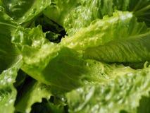 Zielonej sałatki Cos romaine sałata pokrajać Obrazy Royalty Free