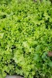 Zielonej sałatki szczegóły Obraz Stock
