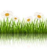 Zielonej trawy gazon z białymi chamomiles i odbicie na bielu royalty ilustracja