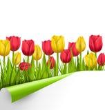 Zielonej trawy gazon z tulipanami i zawijającym papieru prześcieradłem odizolowywającymi dalej ilustracji