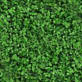 Zielonej trawy koniczynowa bezszwowa tekstura Obraz Royalty Free