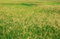 Zielonej trawy lata obszaru trawiastego softlight miękka ostrość obrazy stock