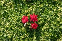 Zielonej trawy naturalny tło z czerwonym kwiatem Odgórny widok obraz stock