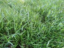 Zielonej trawy ogródu piękny prosty drzewo zdjęcie stock