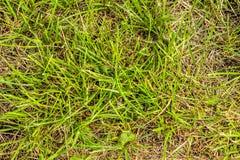 Zielonej trawy ogródu tekstury dorośnięcie Fotografia Stock