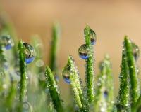 Zielonej trawy ostrza z deszcz kroplami które odbijają saguaro kaktusa a Obrazy Stock