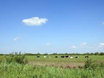 Zielonej trawy pole i krowy zwierzę, Lithuania Zdjęcie Royalty Free