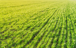 Zielonej trawy pole pod zmierzchem Obraz Stock
