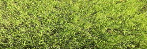 Zielonej trawy pole Trawa, zielony tło Naturalna zielonej trawy tekstura, Naturalny zielonej trawy tło dla projekta z kopii przes Obraz Stock