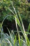 Zielonej trawy ranku rosy przedstawień światło Fotografia Stock