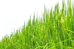 Zielonej trawy ryżowa roślina odizolowywająca obraz stock
