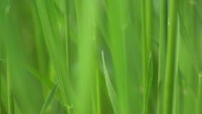 Zielonej trawy tła Makro- wideo zbiory wideo