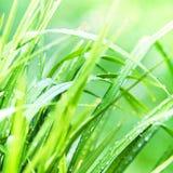 Zielonej trawy tło makro- Abstrakcjonistyczni naturalni tła z Zdjęcia Stock