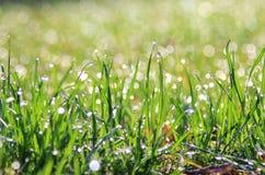 Zielonej trawy tło Wibrujący połysk - koloru Parawanowy ciułacz - Zdjęcia Royalty Free