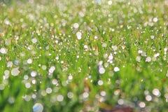 Zielonej trawy tło Wibrujący rosy kropli połysk - koloru Parawanowy ciułacz - Fotografia Stock