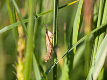 Zielonej trawy tło z pasikonikiem Obrazy Royalty Free