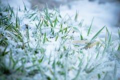 Zielonej trawy zakończenie w białym śniegu Obraz Stock