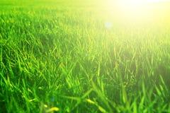 Zielonej trawy zakończenie w zmierzchu Lata lub wiosny łąka Lata lub wiosny łąki natura Zdjęcia Stock