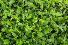 Zielonej trawy zakończenie, greenery tekstura Natura Obrazy Stock