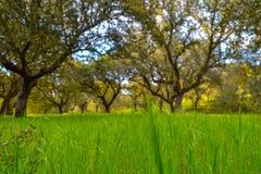 Zielonej trawy zbliżenie z defocused drzewami w tle obraz royalty free